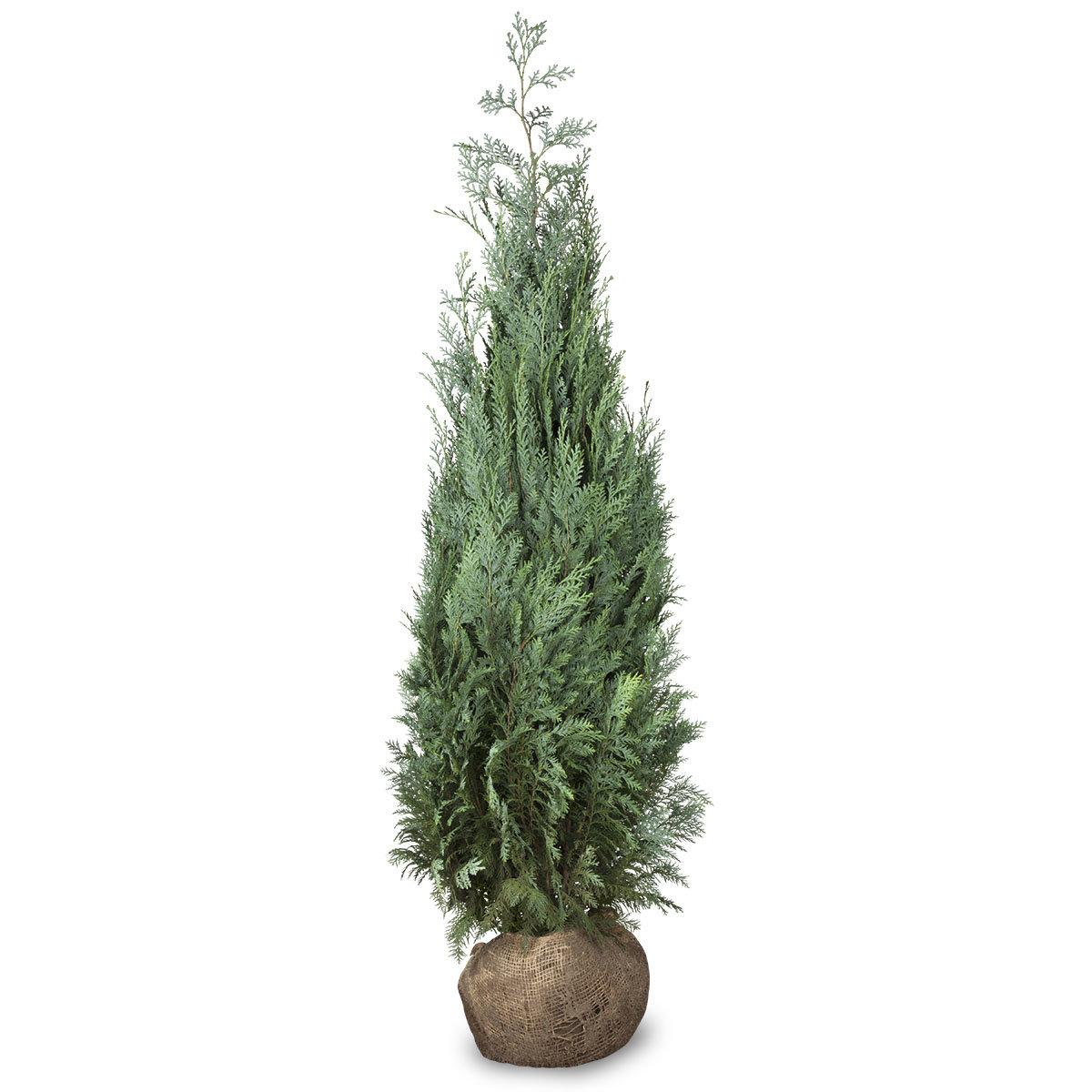 Großgebinde Gartenzypresse 80 - 100 cm, 100 Pflanzen | #2