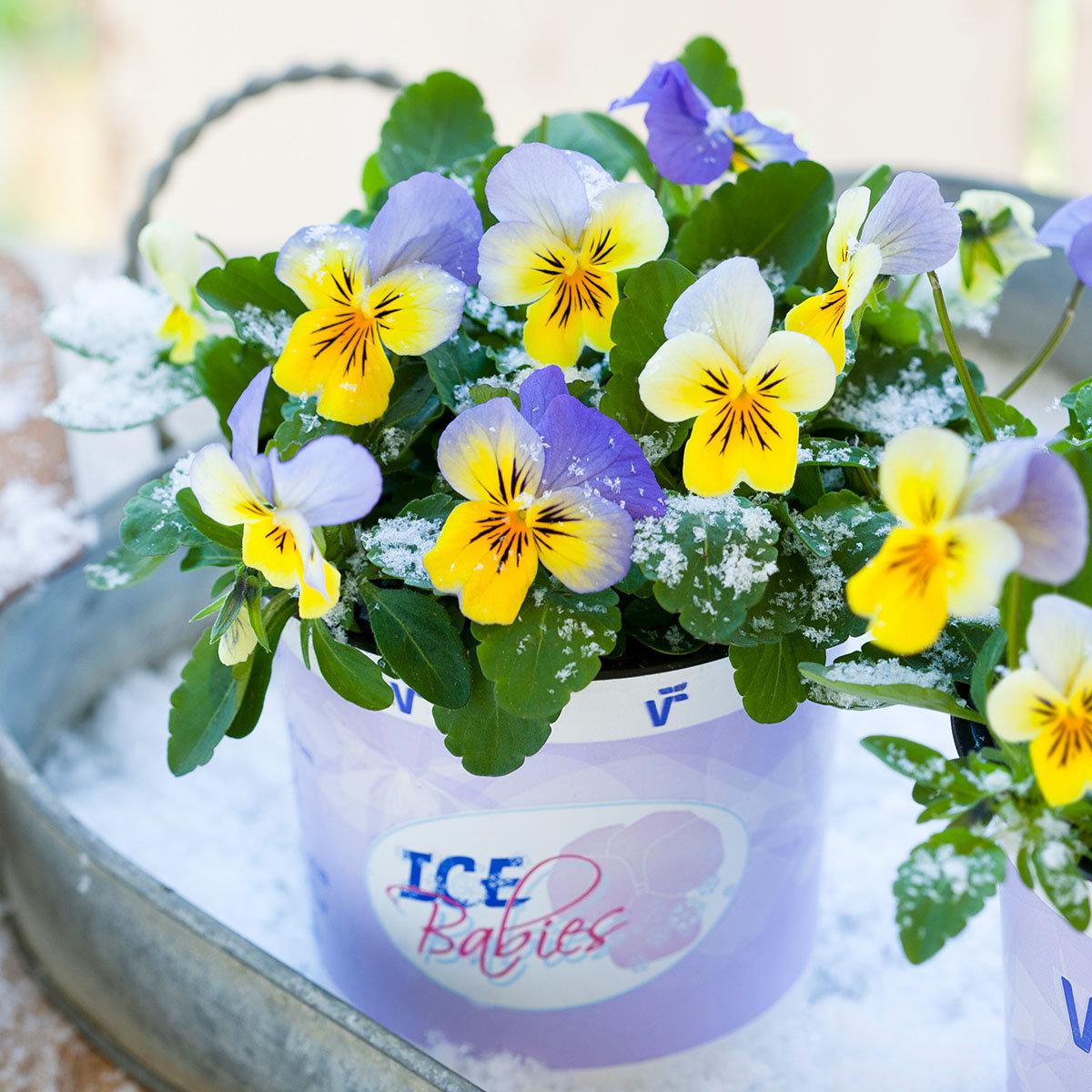 Mini-Hornveilchen Ice Babies® Blue with Yellow, im ca. 11 cm-Topf | #2