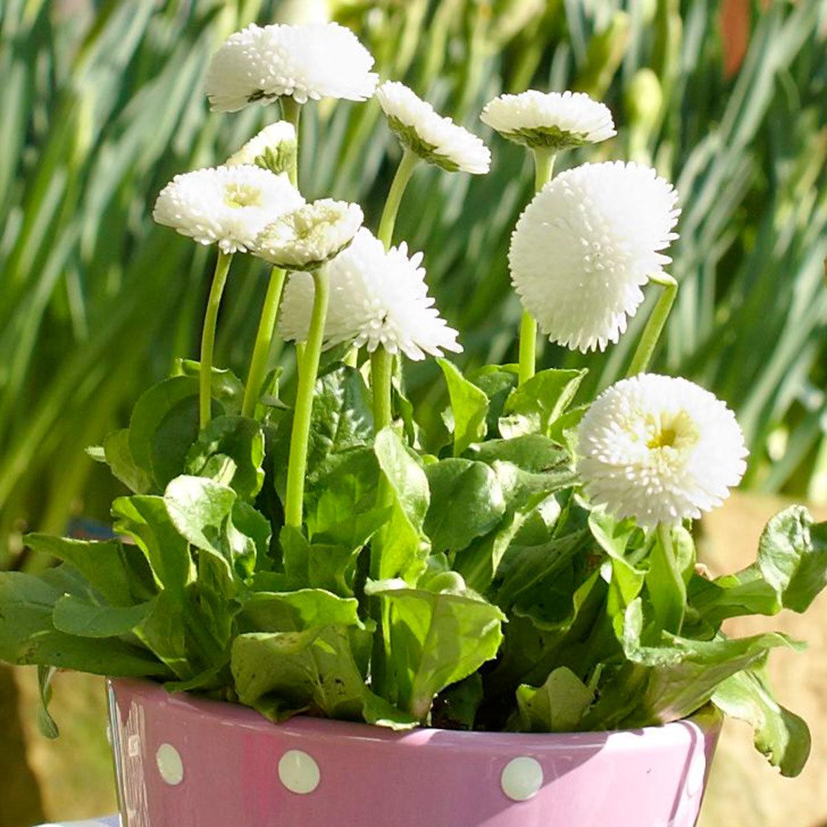 Gänseblümchen Tasso White, im ca. 13 cm-Topf | #2