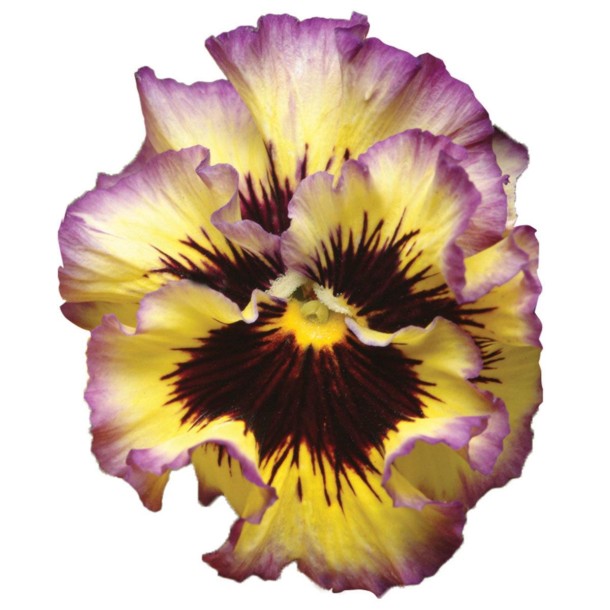 Edel-Veilchen Orchi®Purple-Yellow, im ca. 13 cm-Topf | #2