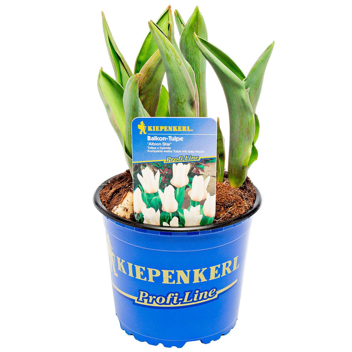 Weiße Balkon Tulpe, 3 Stück, im ca. 10,5 cm-Topf | #2