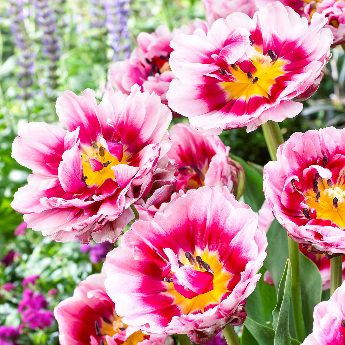 Tulpe Dazzling Desire | #2