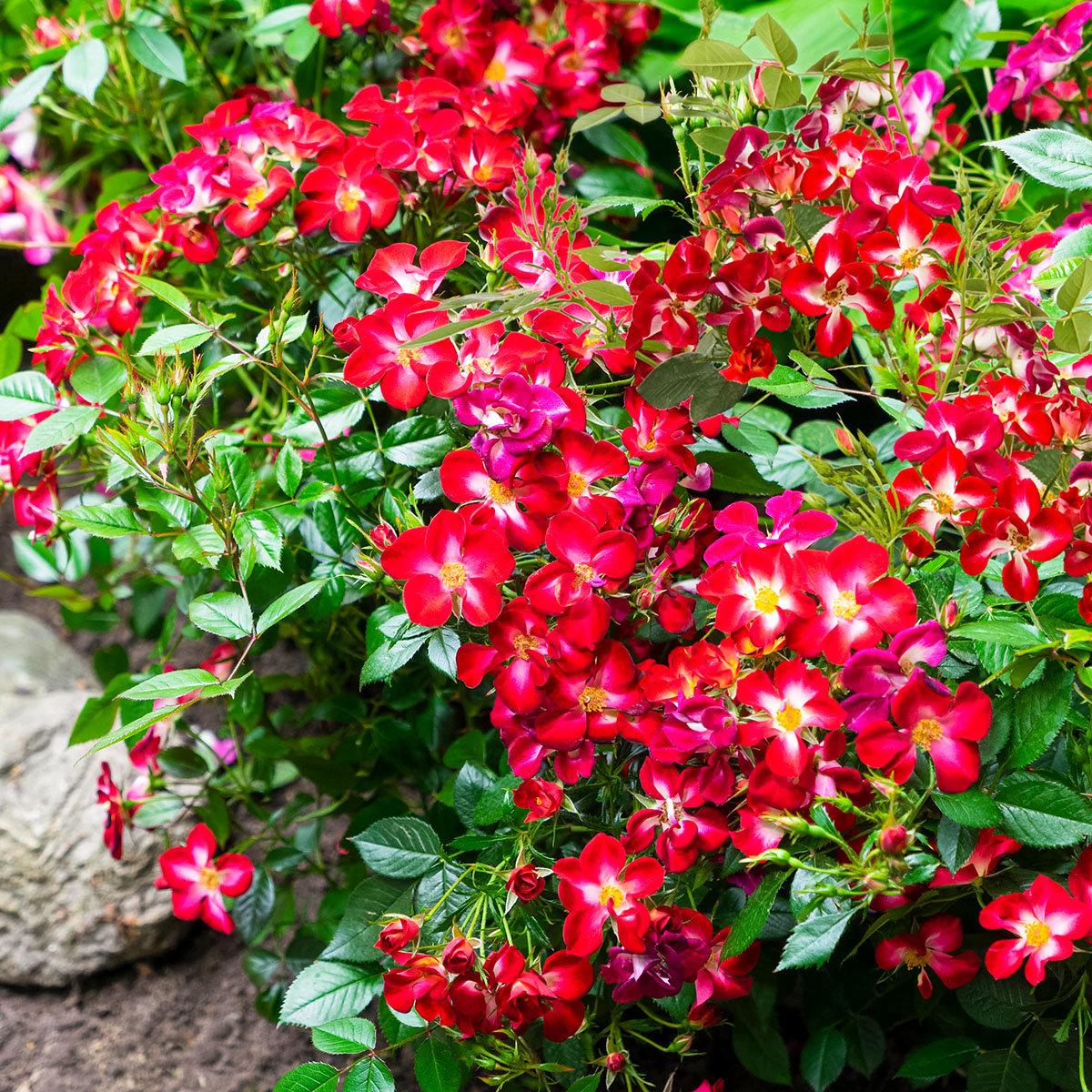 Beetrose Rosy Boom® Colour Change, im ca. 23 cm-Topf | #2