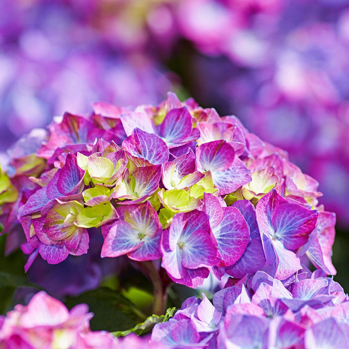 Hortensie Diva fiore®, violett, im ca. 22 cm-Topf | #2