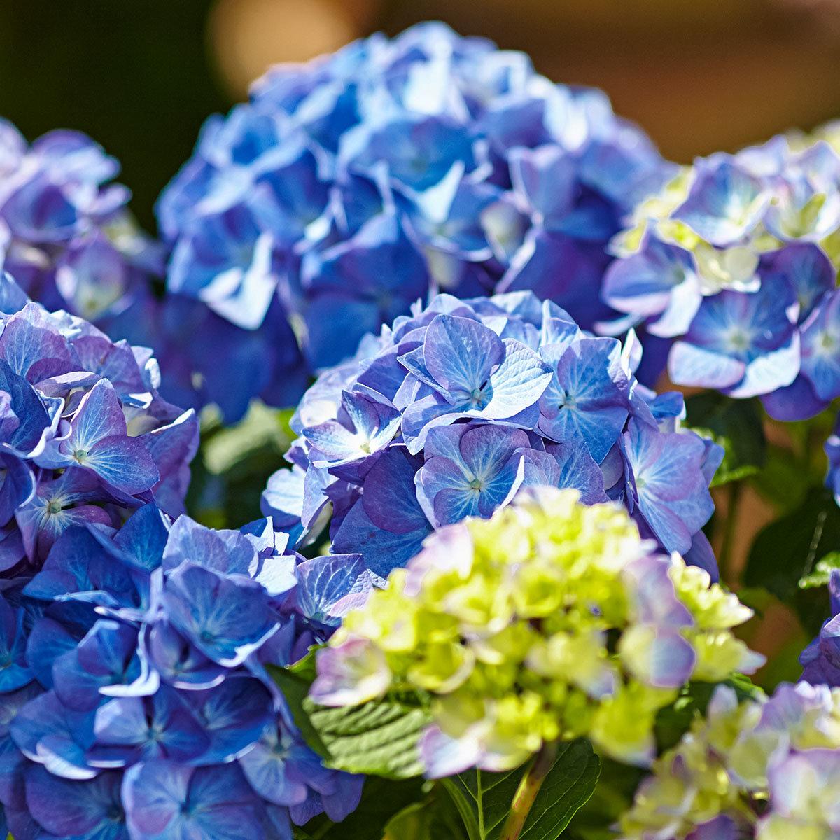 Hortensie Diva fiore®, blau, im ca. 22 cm-Topf | #2