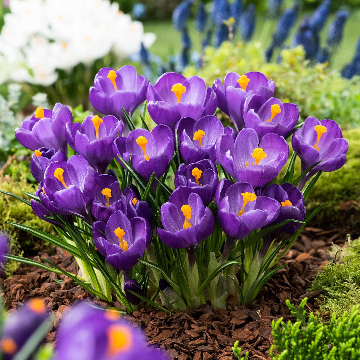 Gartenkrokus Flower Record | #2