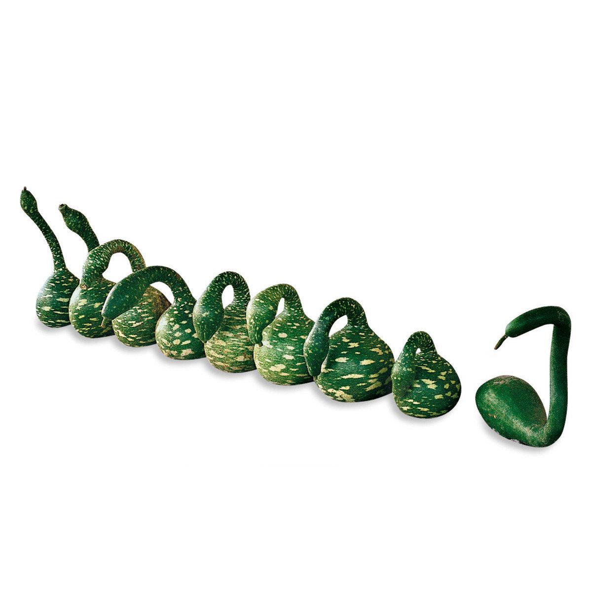 Kalebasse Flaschenkürbissamen Cobra | #2