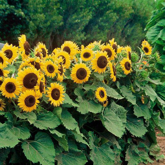 Sonnenblumensamen Waooh | #2