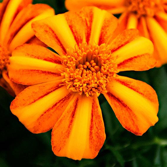 Tagetes Bambino Orange | #2