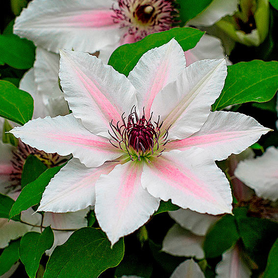 Clematis The Countess of Wessex BOULEVARD® PATIO | #2