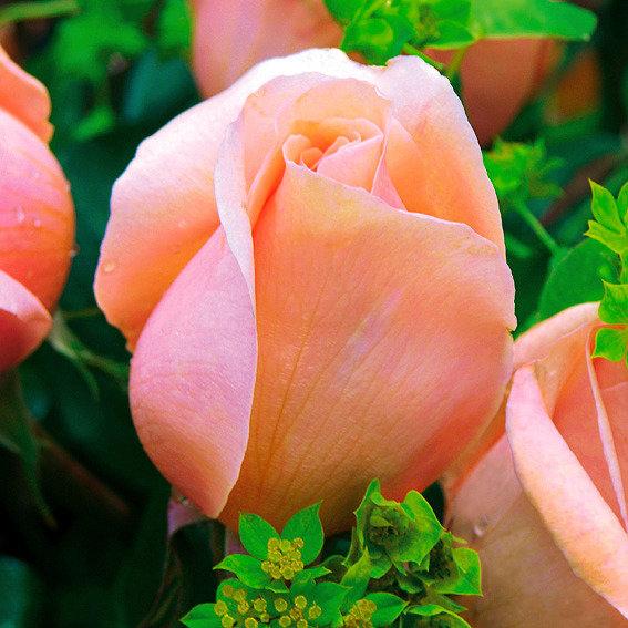 Meister-Rose® Cornelia Pötschke® | #2