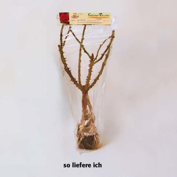 Rose Shalom® | #2