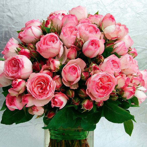 Rose Mini Eden®, im 3-Liter-Topf | #2