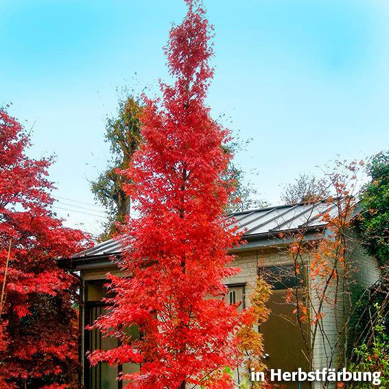 Säulen-Fächerahorn Tsukasa Silhouet | #2