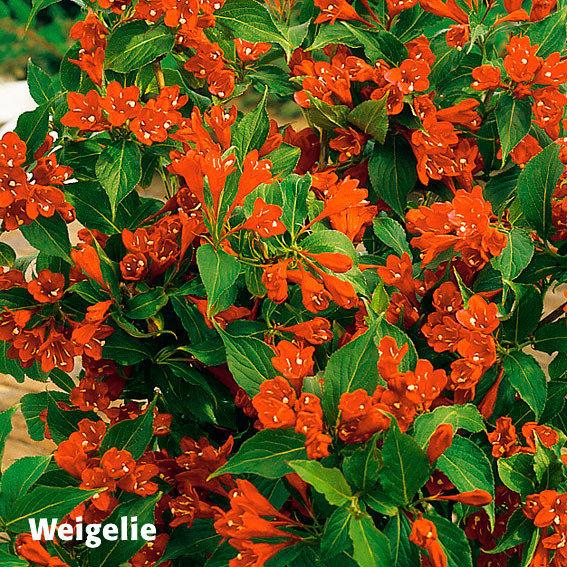 Gärtner Pötschkes Blütenhecke, 5 Pflanzen | #2