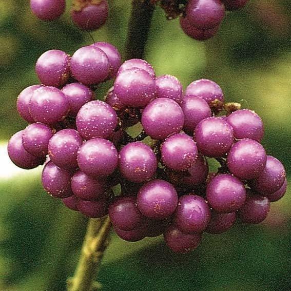 Schönfrucht Profusion | #2