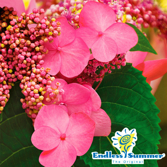 Hortensie Endless Summer® Twist`n`Shout XL, rosa   #2