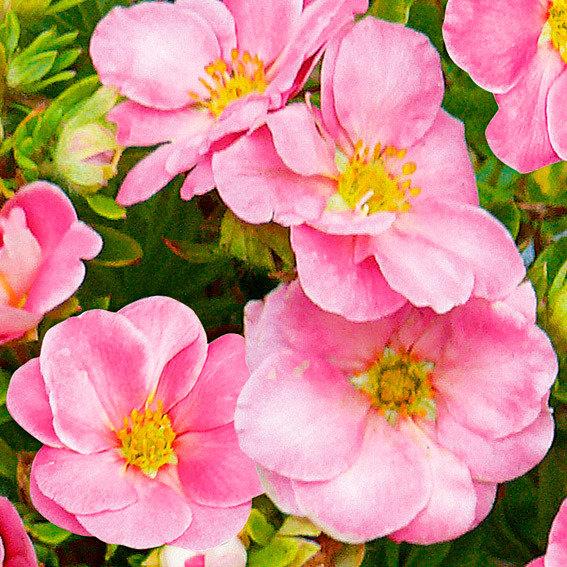 Rosen-Fünffingerstrauch Pink Paradise | #2