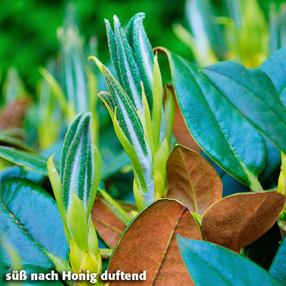 Rhododendron Honigduft | #2