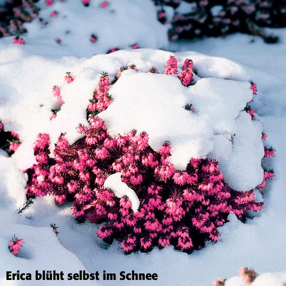 ziergeh lz sortiment schneeheide online kaufen bei g rtner p tschke. Black Bedroom Furniture Sets. Home Design Ideas