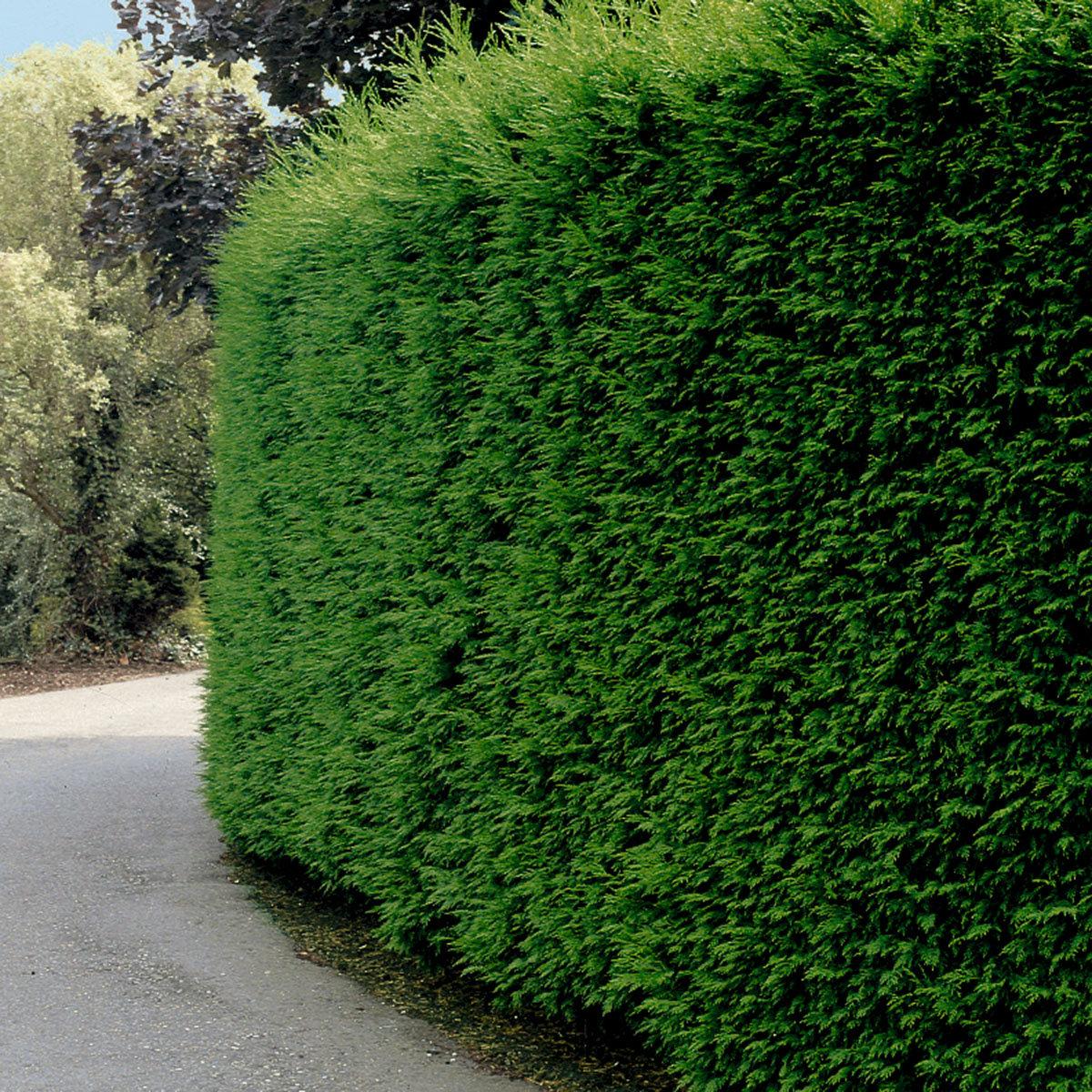 Leylandzypresse, im ca. 9 cm-Topf, Höhe ca. 25-30 cm | #2