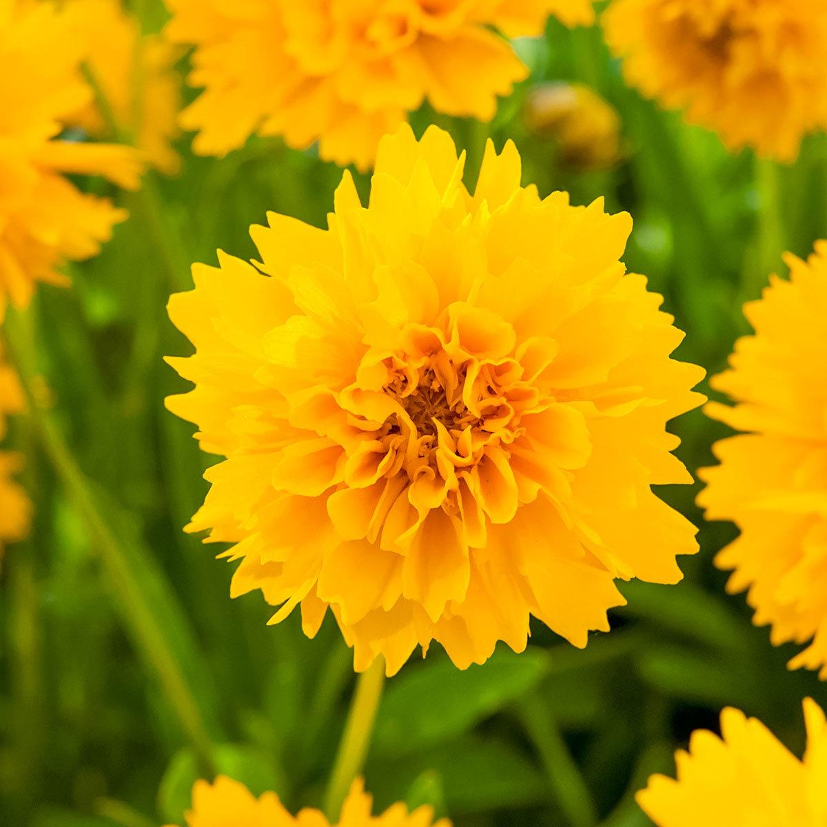 Blühstaude Mädchenauge, gelb, im ca. 9 cm-Topf | #2