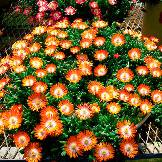 Mittagsblume Perfect Orange, im ca. 9 cm-Topf | #2