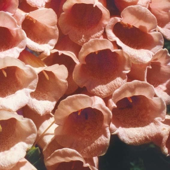 Fingerhut Sutton`s Apricot | #2