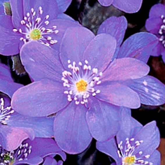 Leberblümchen Blue Jewel | #2