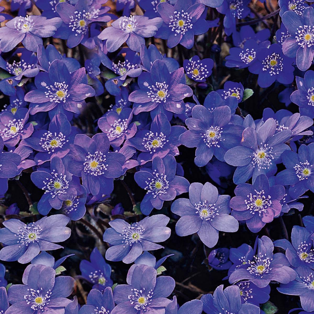 Leberblümchen Blue Jewel   #2