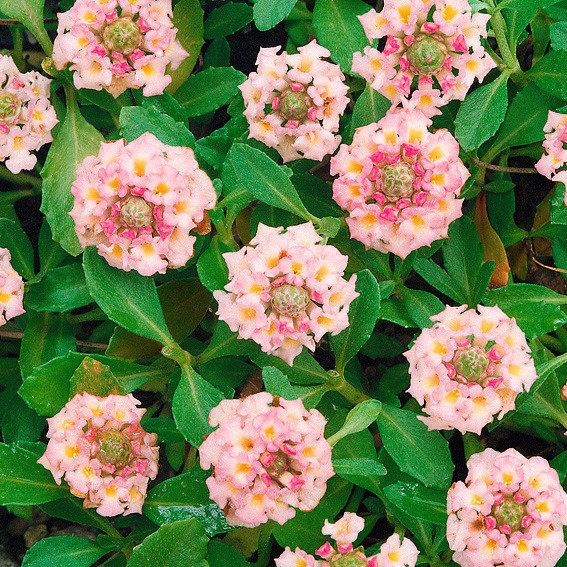 Teppichverbene Summer Pearls Pink Pompon | #2