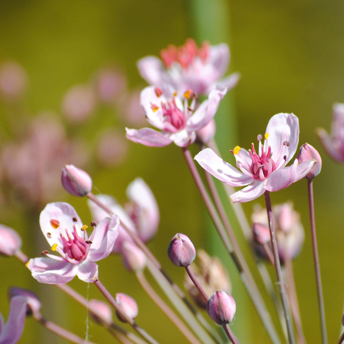Blumenbinse | #2