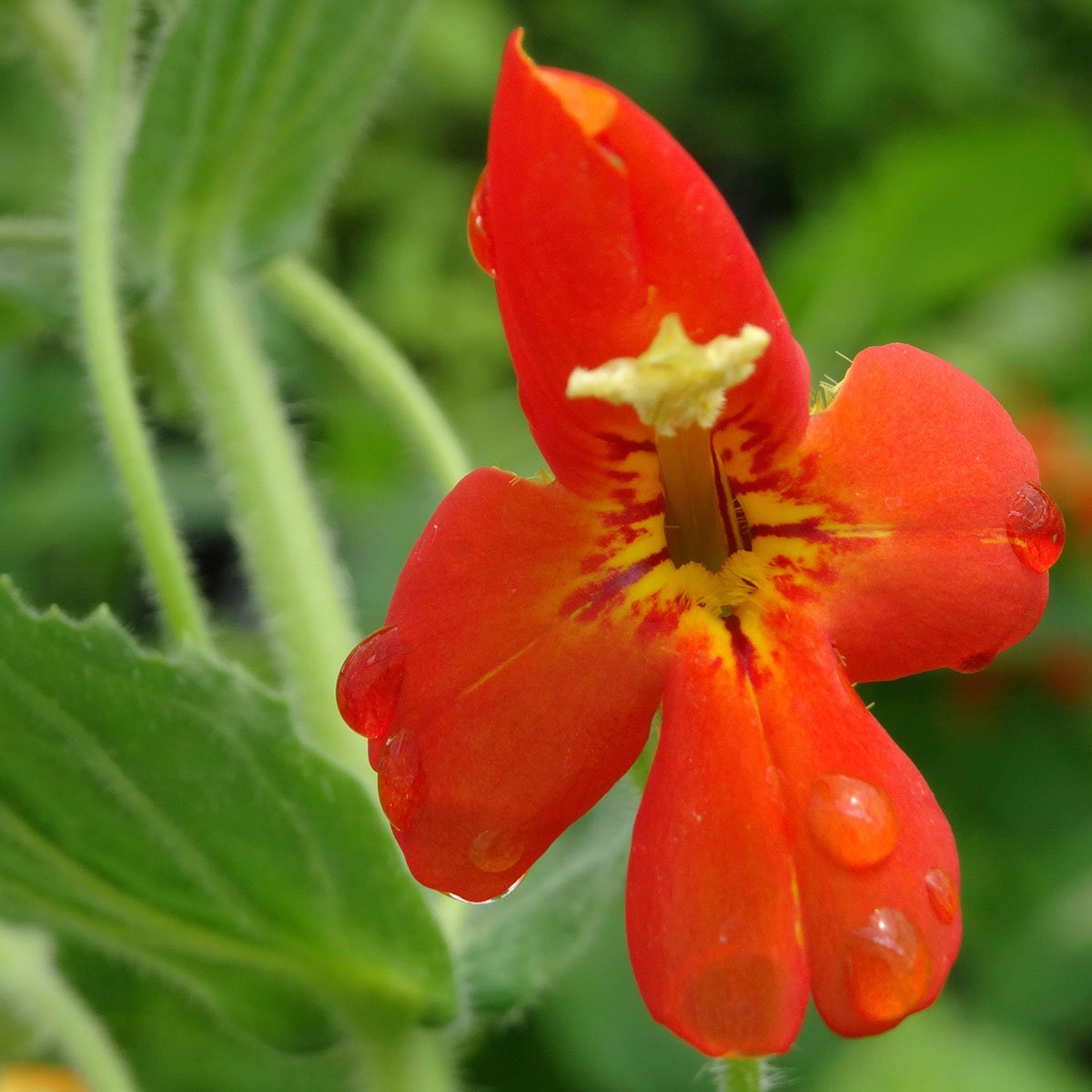 Gauklerblume rot-orange, im ca. 9 cm-Topf | #2
