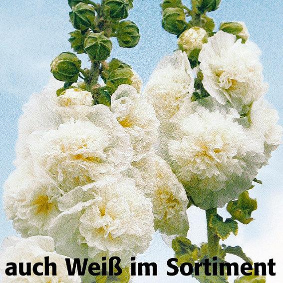 Sortiment Gefüllte Stockrosen, 5 Pflanzen | #2