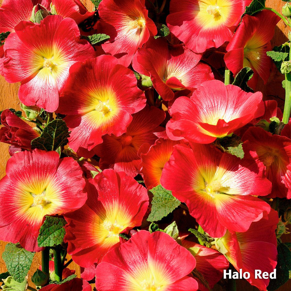 Sortiment Regenbogen-Stockrosen Halo, 3 Stück | #2