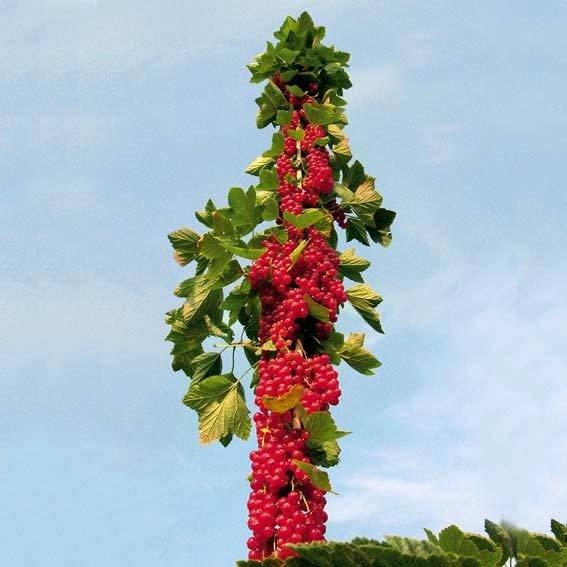 Rote Säulen-Johannisbeere,  im ca. 20 cm-Topf | #2