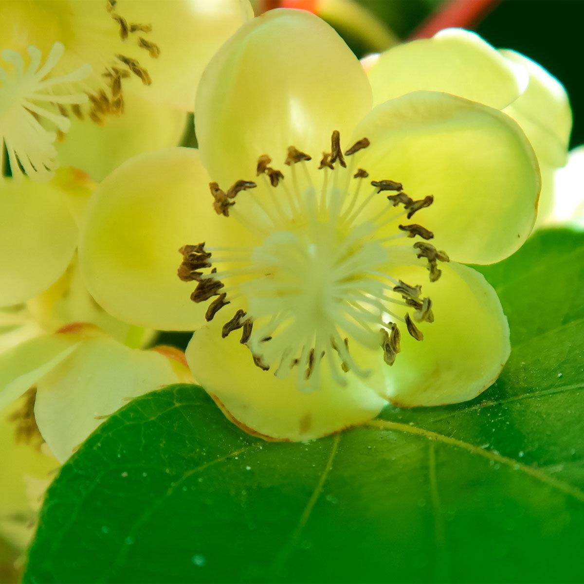 Kiwi 2er-Set, männlich u. weibliche Pflanzen, im ca. 17 cm-Topf | #2