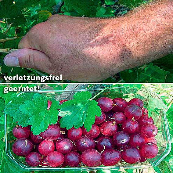 Stachelbeere Spinefree, Hochstamm | #2