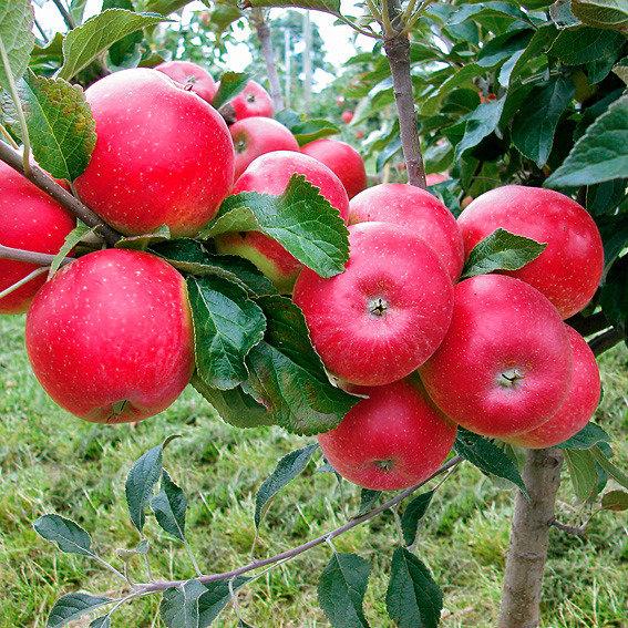Zwerg-Apfel Mini-Cox® Coxdwarf(S) | #2