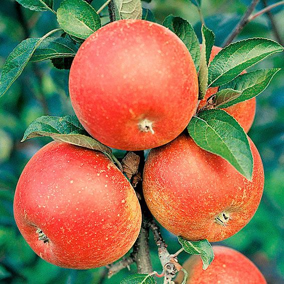Apfel Cox Orange, im ca. 23 cm-Topf | #2