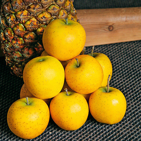 Säulen-Apfel Ananasrenette | #2