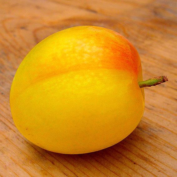 Gärtner Pötschkes Melonen-Pflaume | #2