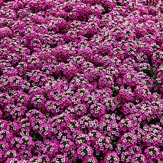 Duftsteinrich Lavender StreamTM | #2