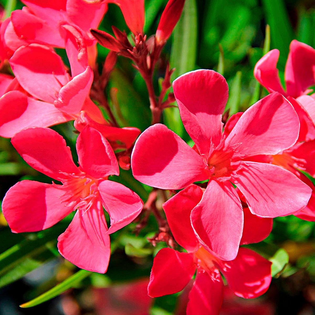 Roter Oleander | #2