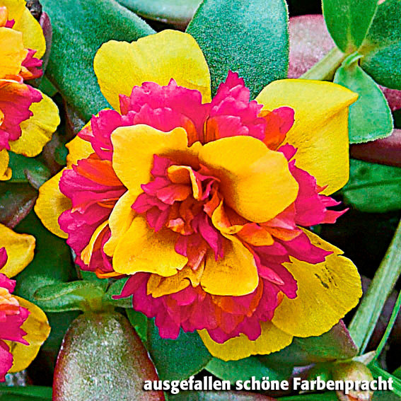 Portulak-Röschen Double Yellow Purple | #2