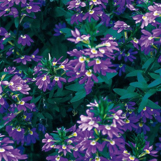 Fächerblume Saphira(S) | #2