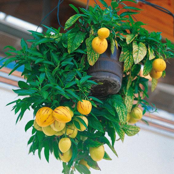 Gärtner Pötschkes Birnenmelone | #2