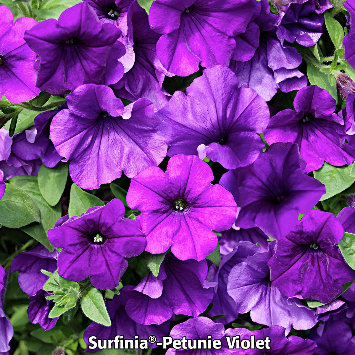 Sommerblumen-Sortiment Petunien | #2