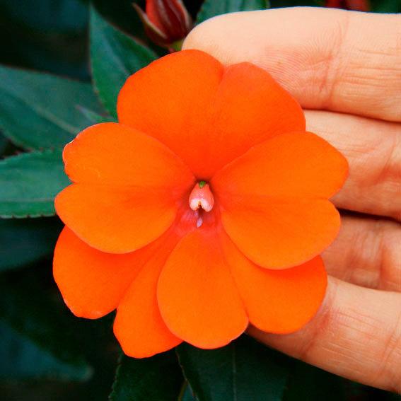 Fleißiges Lieschen Sunpatiens® Compact Orange | #2
