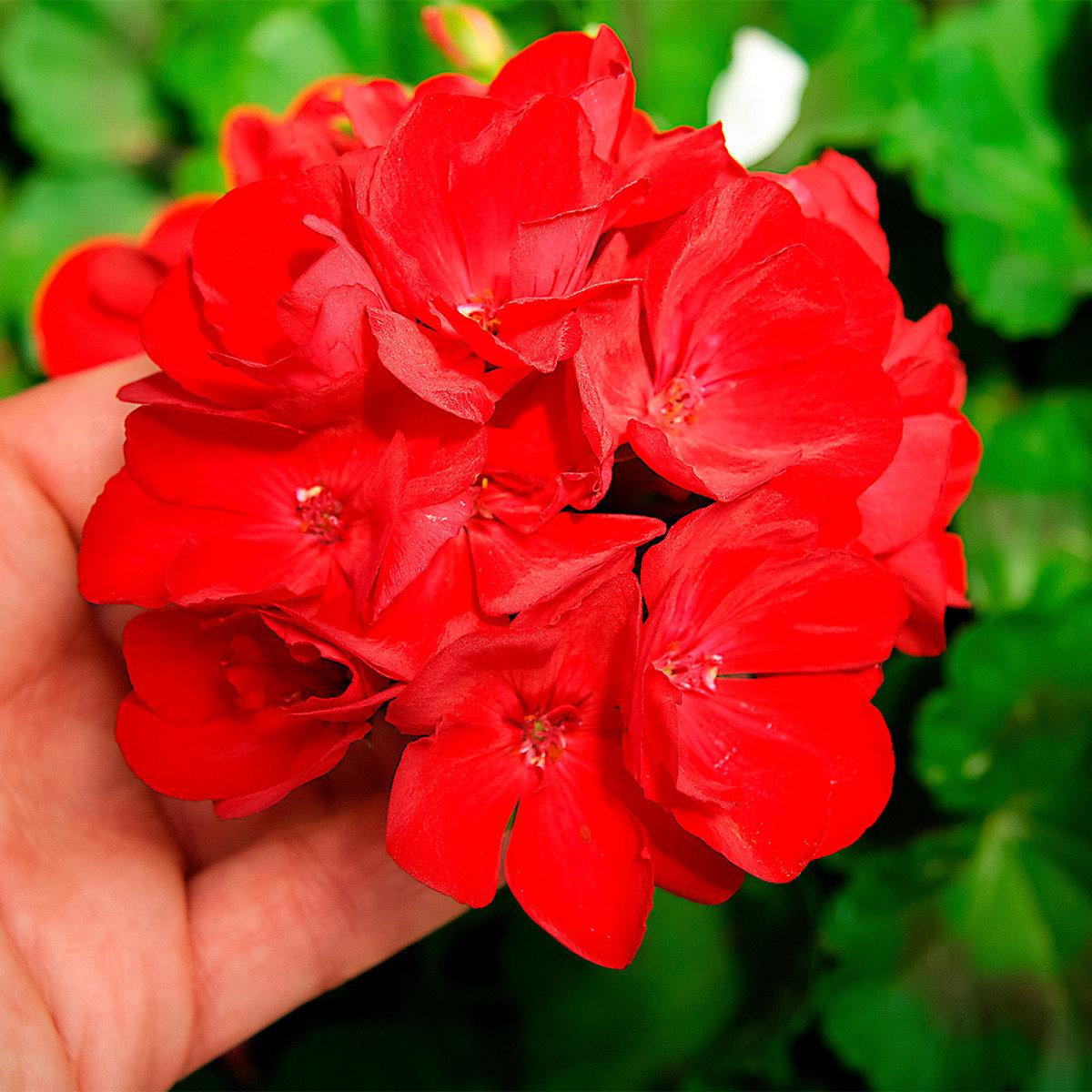 Gärtner Pötschkes Rote Riesen-Geranie | #2